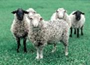 Picture of sheep.
